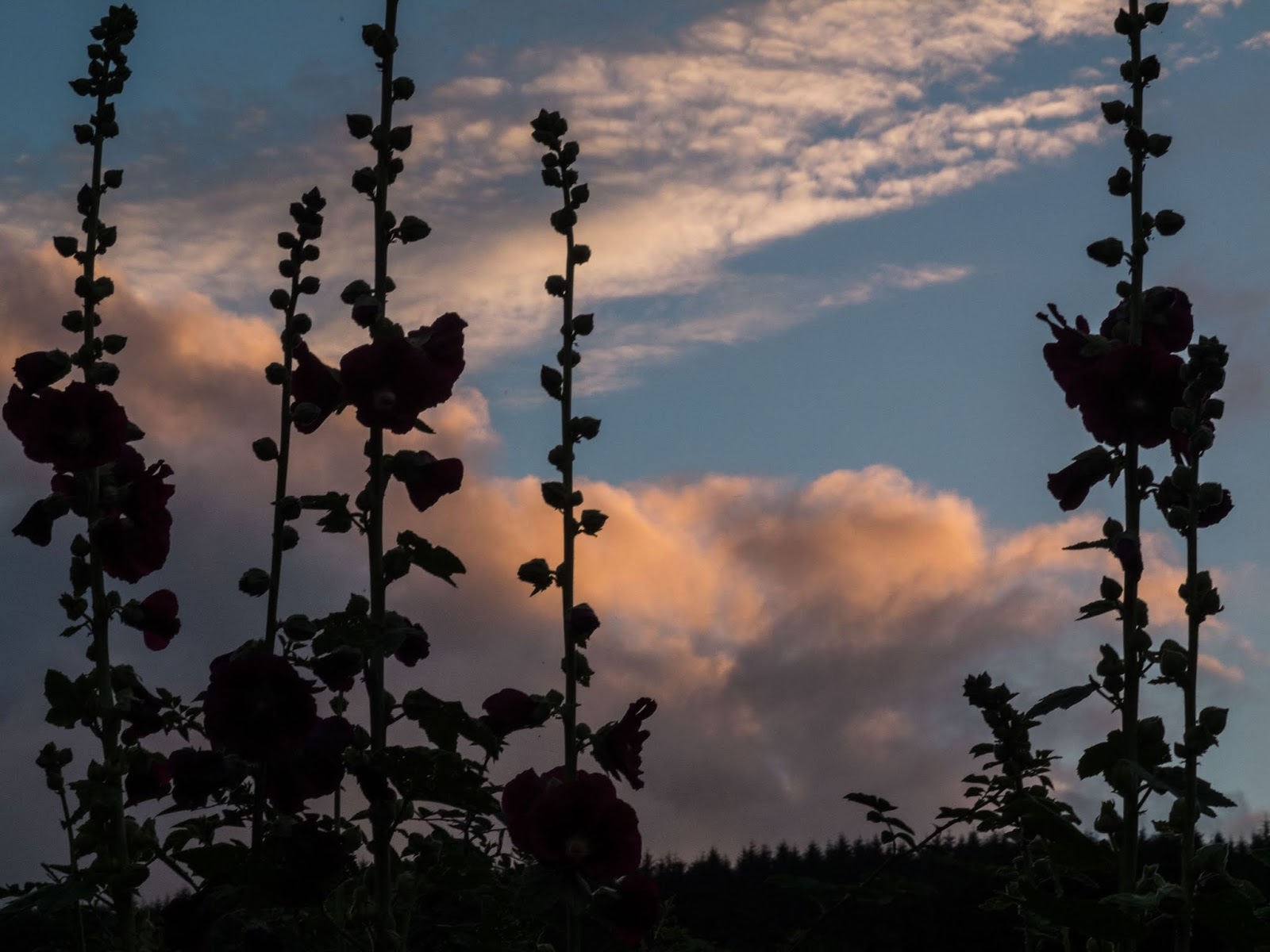 Tall Hollyhock flowers with sunset clouds behind them.