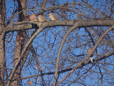 Mourning doves, watching you.....
