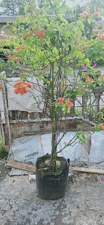 Bougenvile Orange Batik
