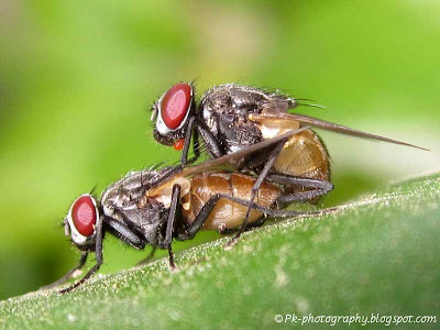 House Fly Mating