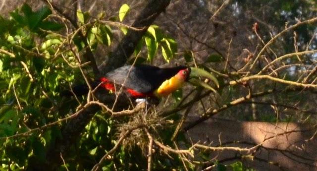 Pássaros que visitam a Chácara Slobodjan em Roncador