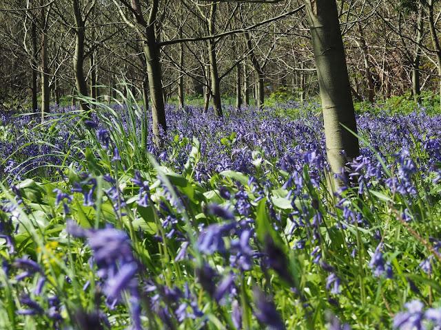 Kew Gardens--bluebells