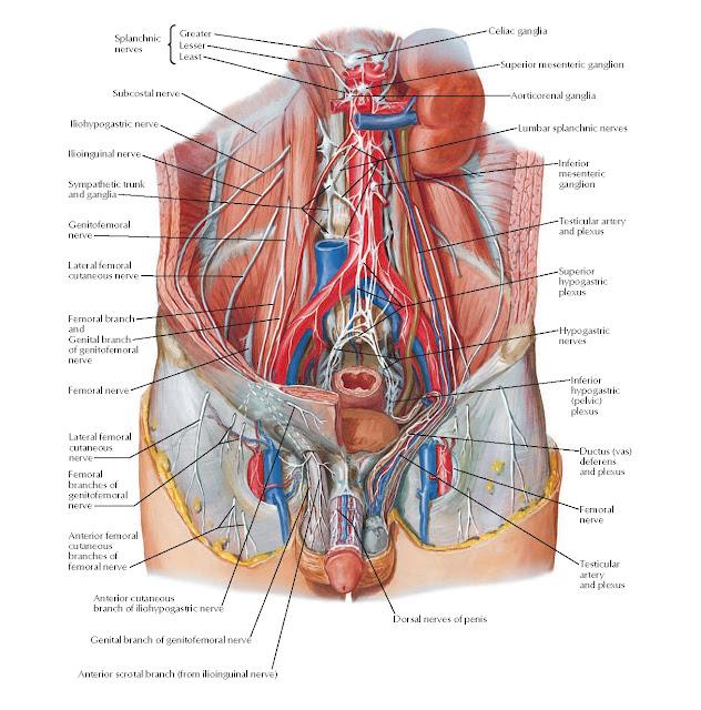 Nerves of External Genitalia: Male Anatomy