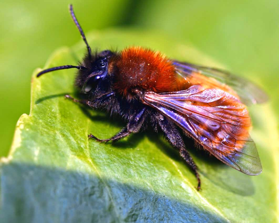 species of uk week 54 miner bees andrena. Black Bedroom Furniture Sets. Home Design Ideas