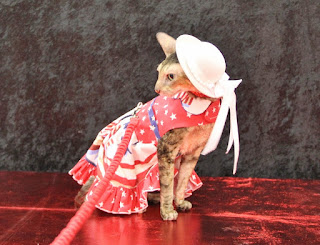Coco, the Couture Cat looking demure in her patriotic dress!