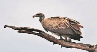 UP government to set up State's 1st Vulture Conservation