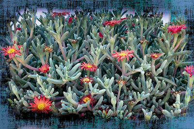 pretty iceplants new mexico