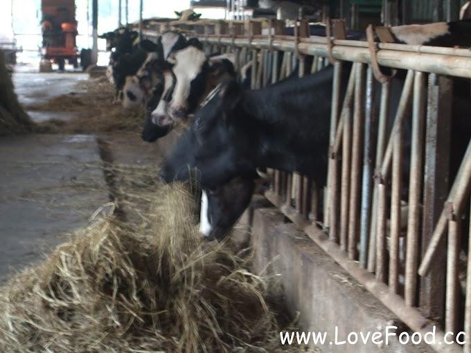 新竹香山-香山牧場-迷你的觀光乳牛場 還有各種小動物 鮮奶與冰淇淋-xiang shan mu chang