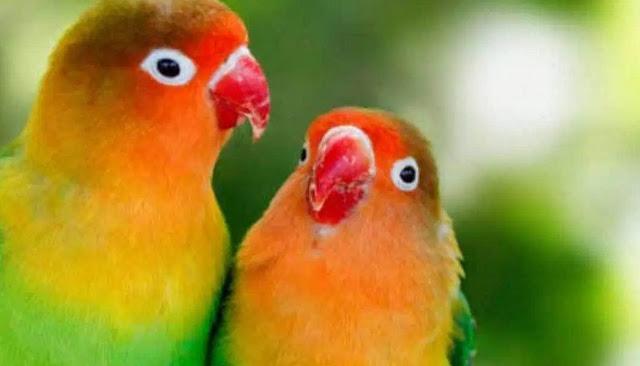 racikan-minuman-lovebird-agar-ngekek-panjang