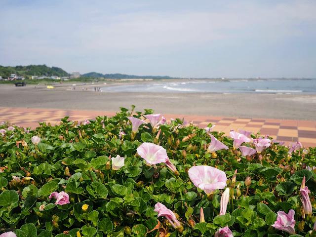太東海水浴場 ハマヒルガオ