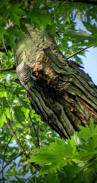 Red-bellied woodpecker in Pittsburgh's Schenley Park