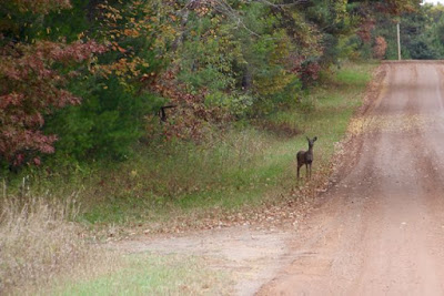 whitetail doe at road's edge