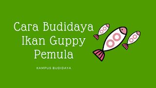 budidaya ikan guppy pemula
