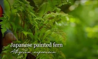 evergreen Fern