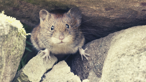 Cara Alami Mengusir Tikus Dari Rumah