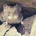 10 Cara Alami Mengusir Tikus Dari Rumah