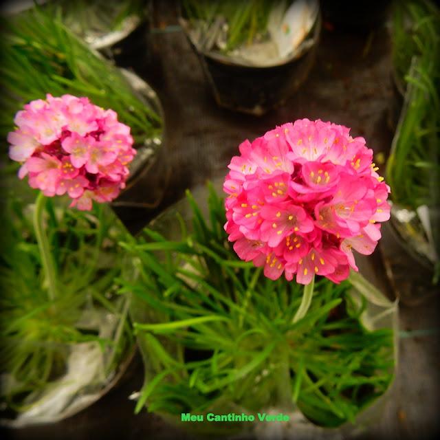 Flores do cravo-do-mar