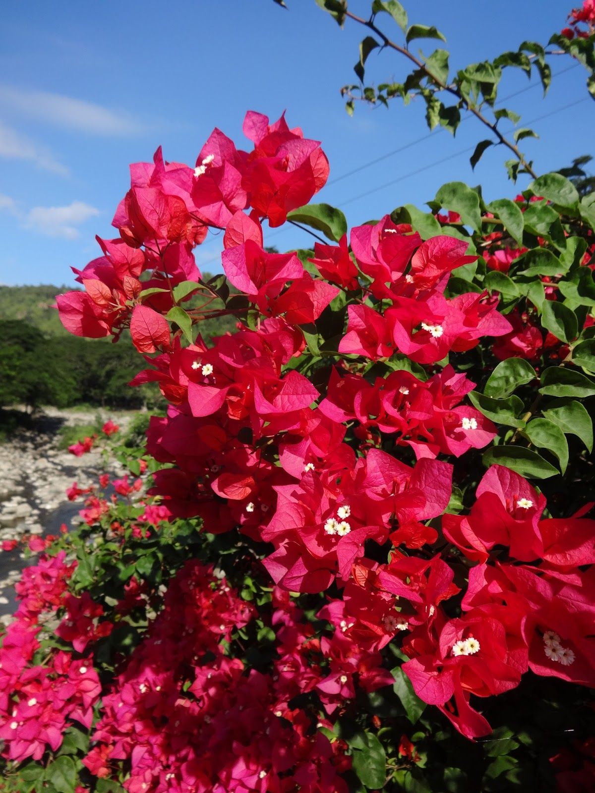 Herbs from Distant Lands: Bougainvillea spectabilis ...