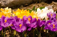 Large crocus blooms in purple, and yellow.