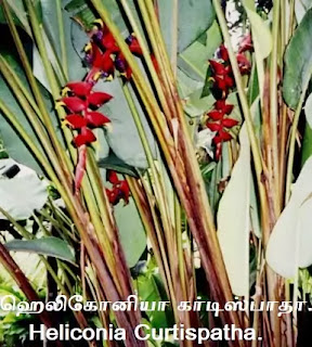 Heliconia Curtispatha