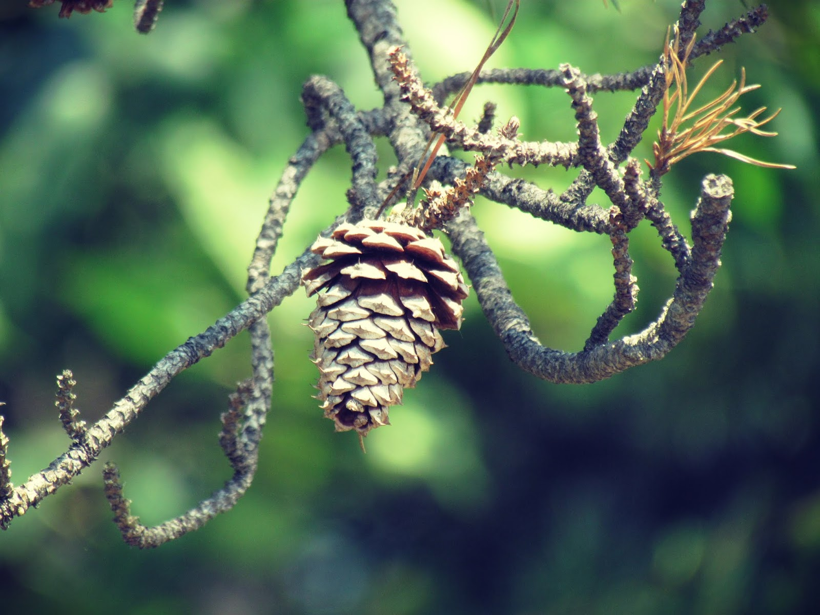 Pine cones dangling from a pine tree in a pine forest in the New England wilderness