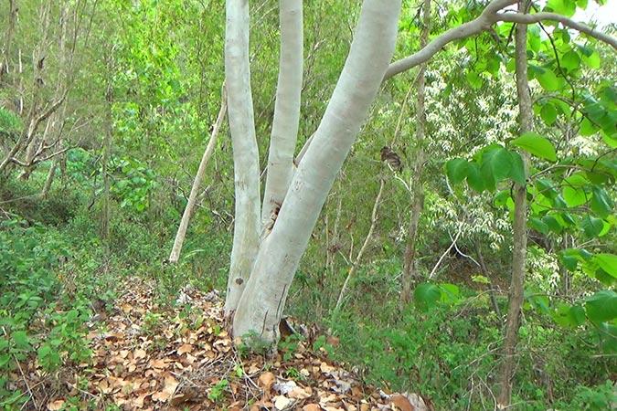 Dlium Hue (Eucalyptus alba)