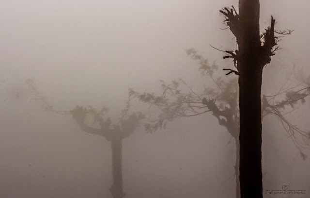 Trees silhouette in a misty condition with low visibility