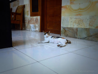 White Calico Cat Relax On The Floor Of The House, Seririt, North Bali, Indonesia