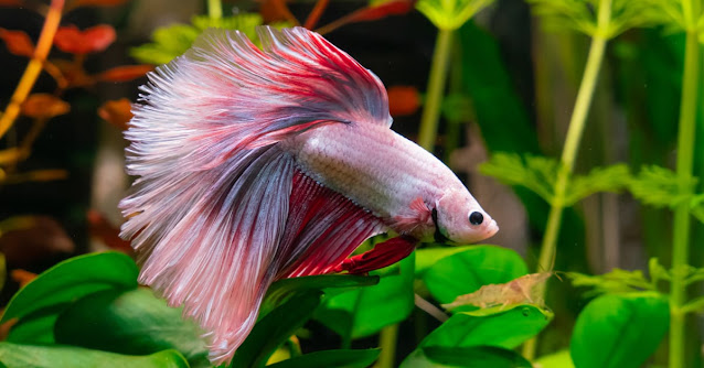 How to rescue..the unhealthy betta fish?