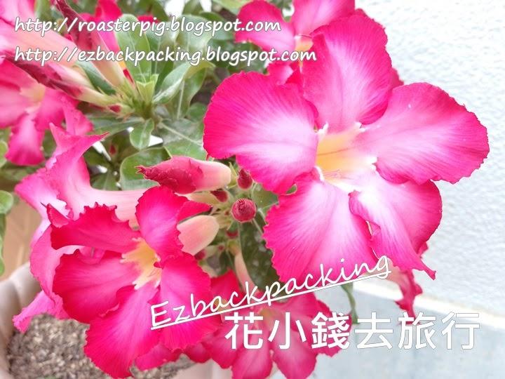 香港沙漠玫瑰