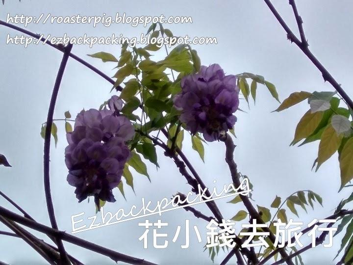 鴨脷洲紫藤花2021