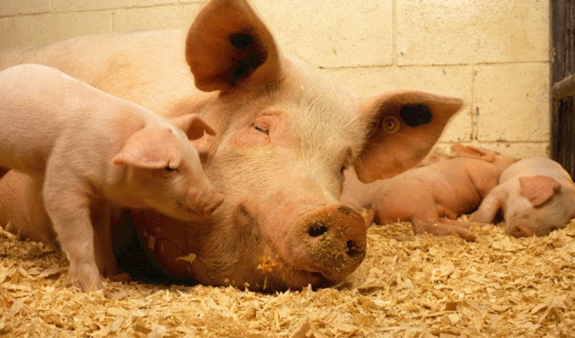 African swine fever: No risk to consumers