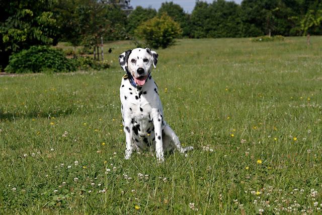 Senior Dalmatian dog smiling sitting in a grassy meadow