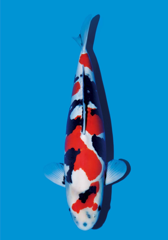 Ikan koi doitsu