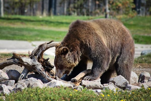 What kind of bears live in Arizona?