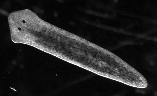 Researchers explain the mechanism of asexual reproduction in flatworms