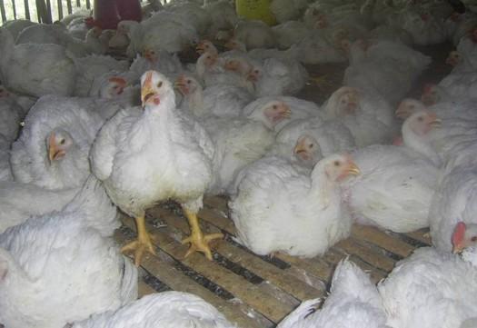 Pentingnya Pemenuhan Kebutuhan Nutrisi pada Ayam Broiler