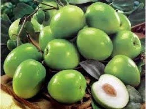 pohon putsa indian plum