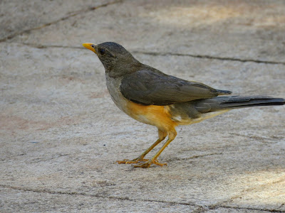 Uganda Birds: African Thrush