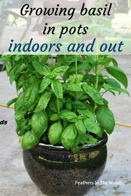 Grow amazing basil plants
