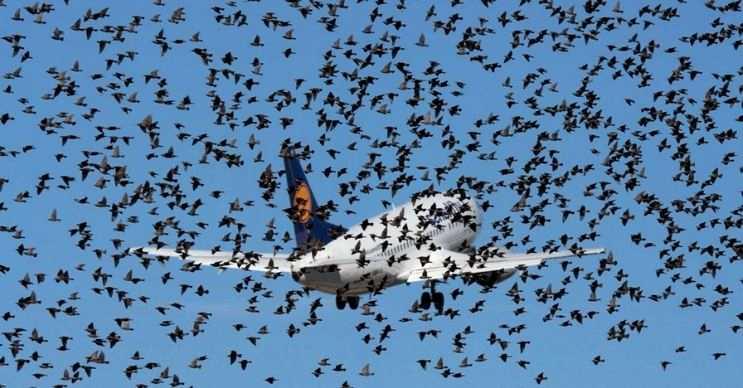 Uçan kuş sürüleri uçak ve helikopter gibi araçlar için son derece tehlikelidir.
