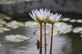 Water lily flower picture