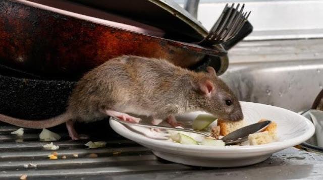 Masyarakat Di Hebohkan Dengan Adanya Tikus Yang Membuat Kepala Pusing
