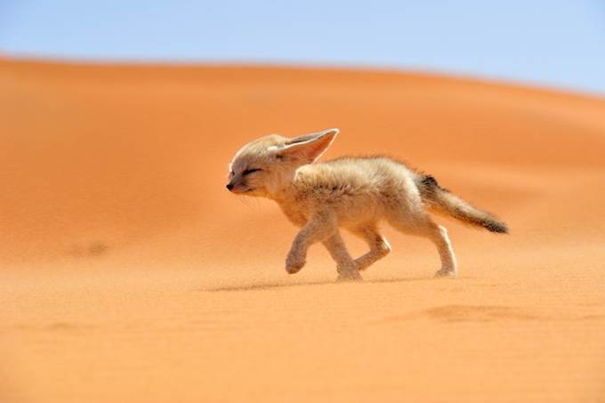 Fennec The Soul of the Desert