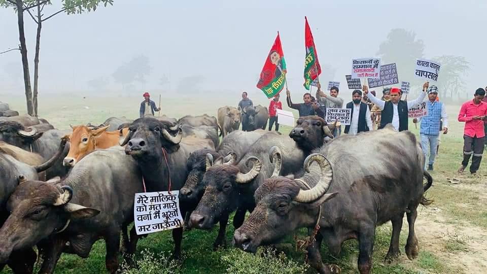 बाराबंकी सपा एम एल सी ने किया गाय भैसो के साथ अनोखा प्रदर्शन