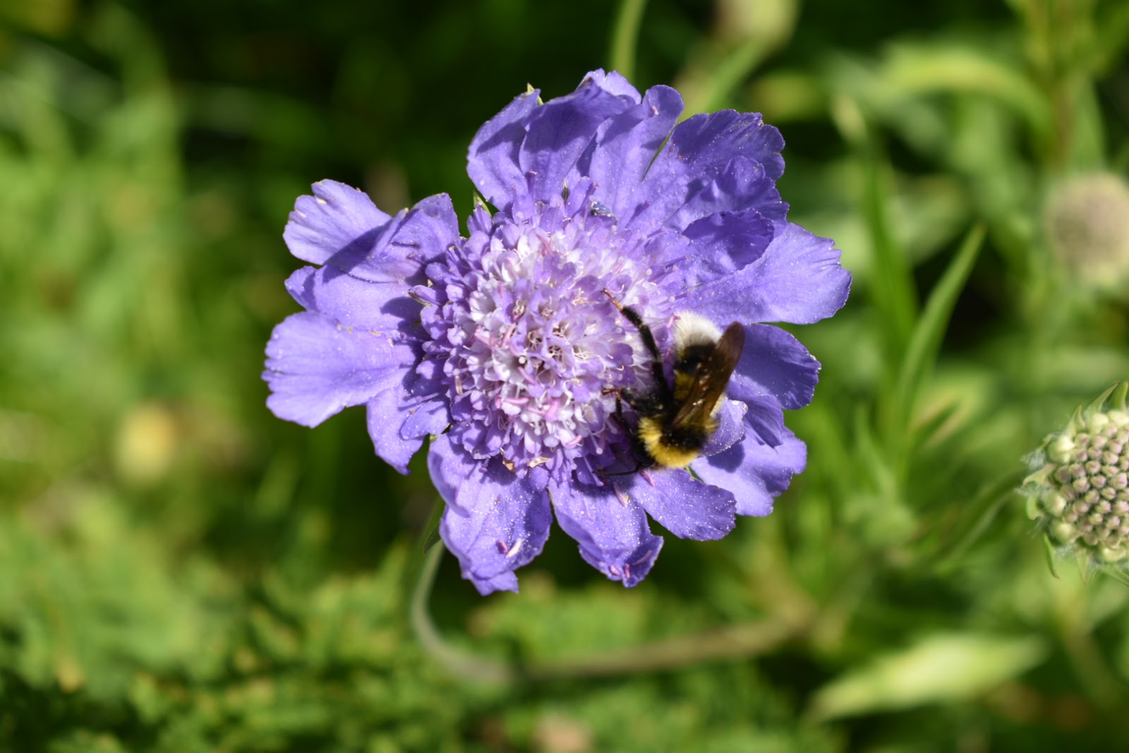 Scabiosa caucasica 'Perfection Blue'