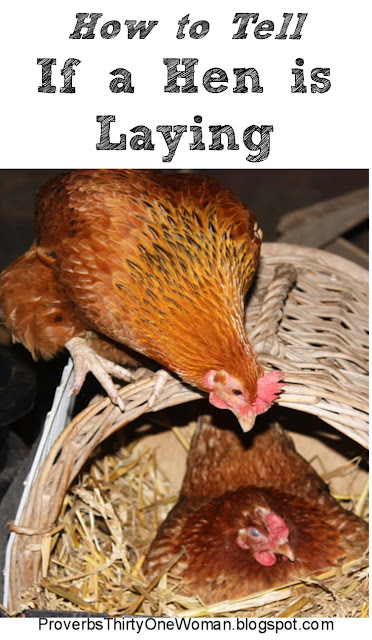 How Can I Tell if My Hen is Laying
