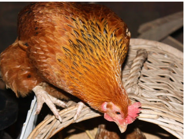 How Can I Tell If My Hen is Laying?