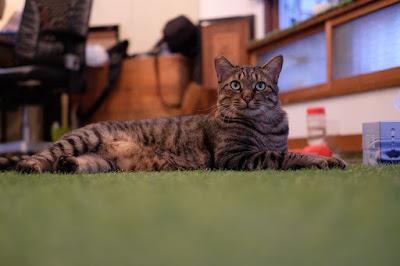 長野市 ツタハウス 看板猫のアイビー