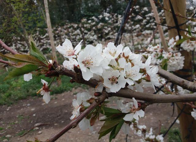Huertos de cerezos dañados